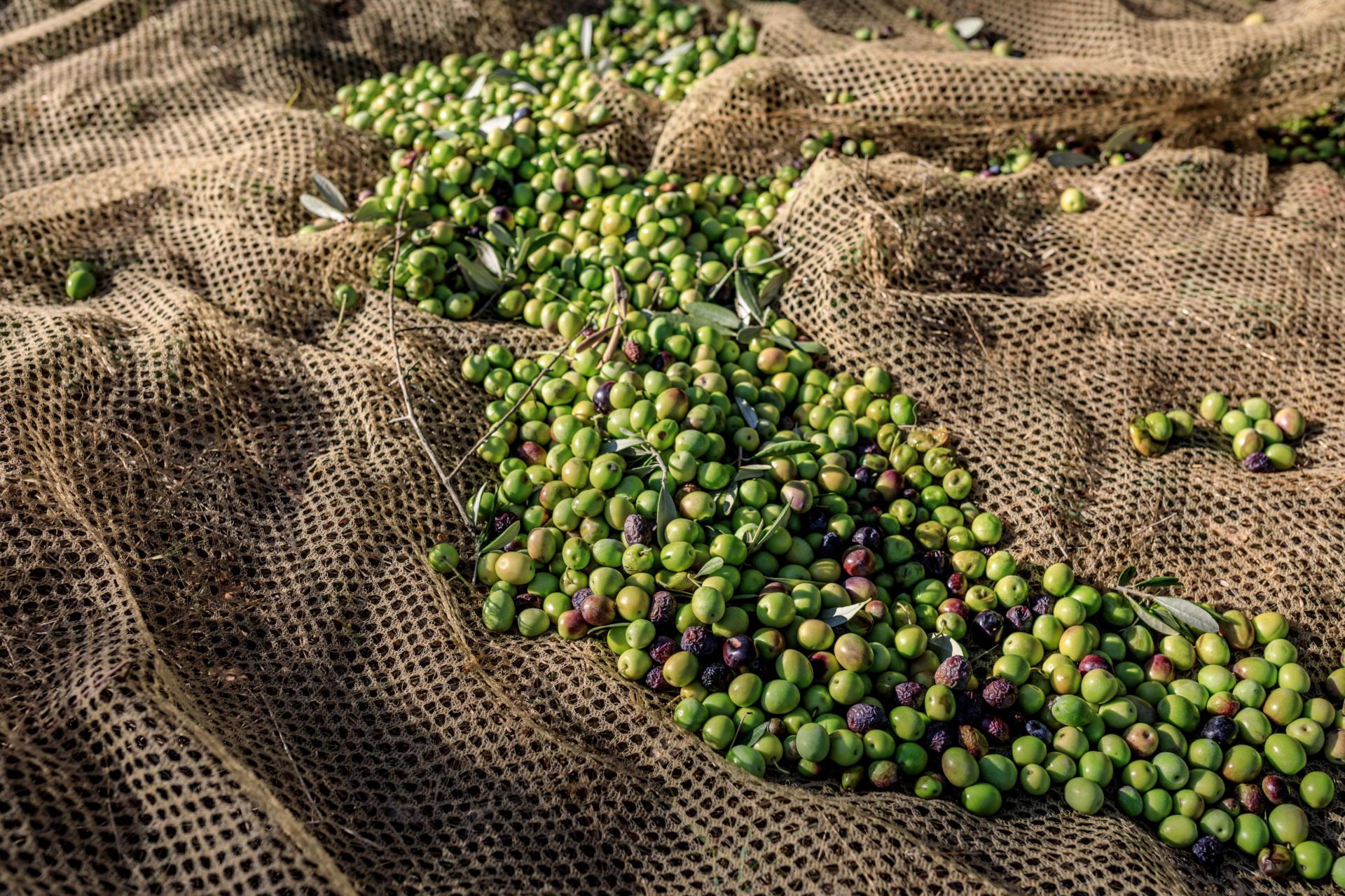Je grüner die Oliven geerntet werden, desto höher ist ihr Polyphenolgehalt.Foto: © Hetty van Oijen